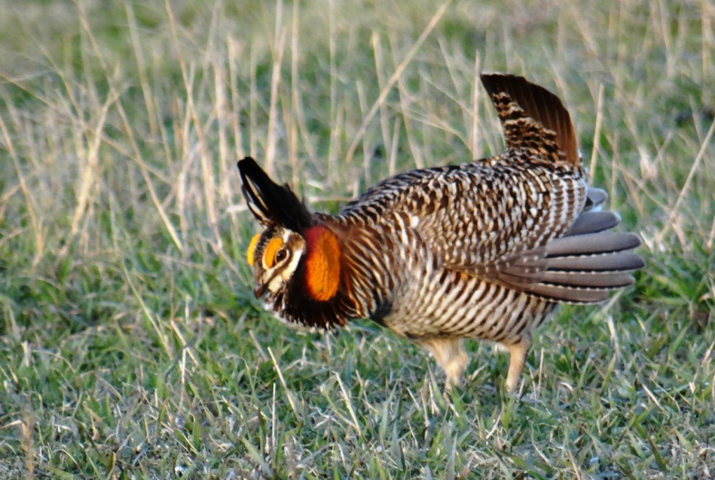 Prairie Chicken & Pasque Flower Tour 2016 118