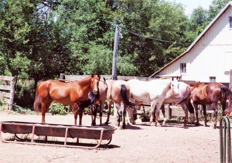 Apache & Rose horses 2005